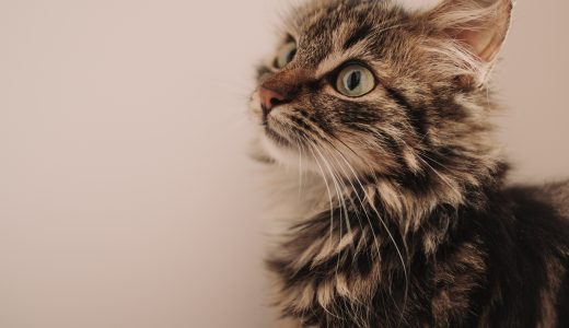 猫のトリミング!トリマー必須の基礎知識