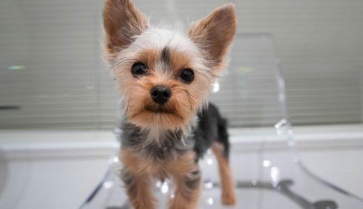 膝が悪い犬のトリミング!知っておきたい小型犬が抱える膝のトラブルとは?
