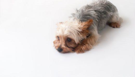 洗ったのにフケが出る!原因はトリマーの技術不足?それとも犬の体質?